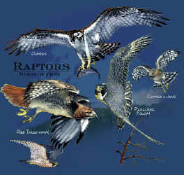 Birds Of Prey Graphic T Shirts Raptor T Shirts Eagle Owl And Hawk T Shirt For Men Women And Children Who Love Nature Tshirts